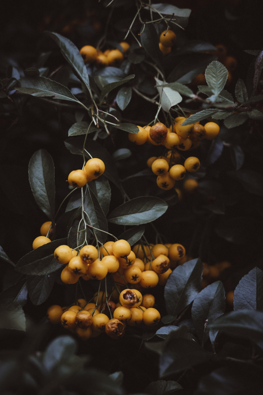 close-up photo of round yellow fruits