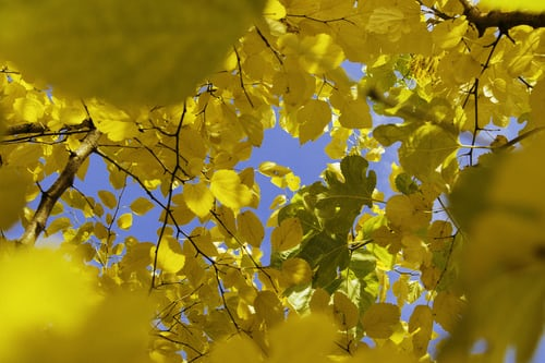 Photo of tree branches with yellow leaves against a blue sky