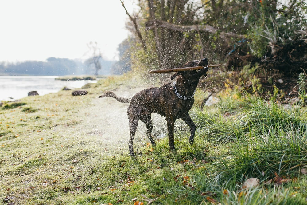 black dog perching wooden stick while shaking off water