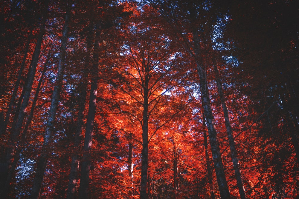 Red Forest Pictures Download Free Images On Unsplash