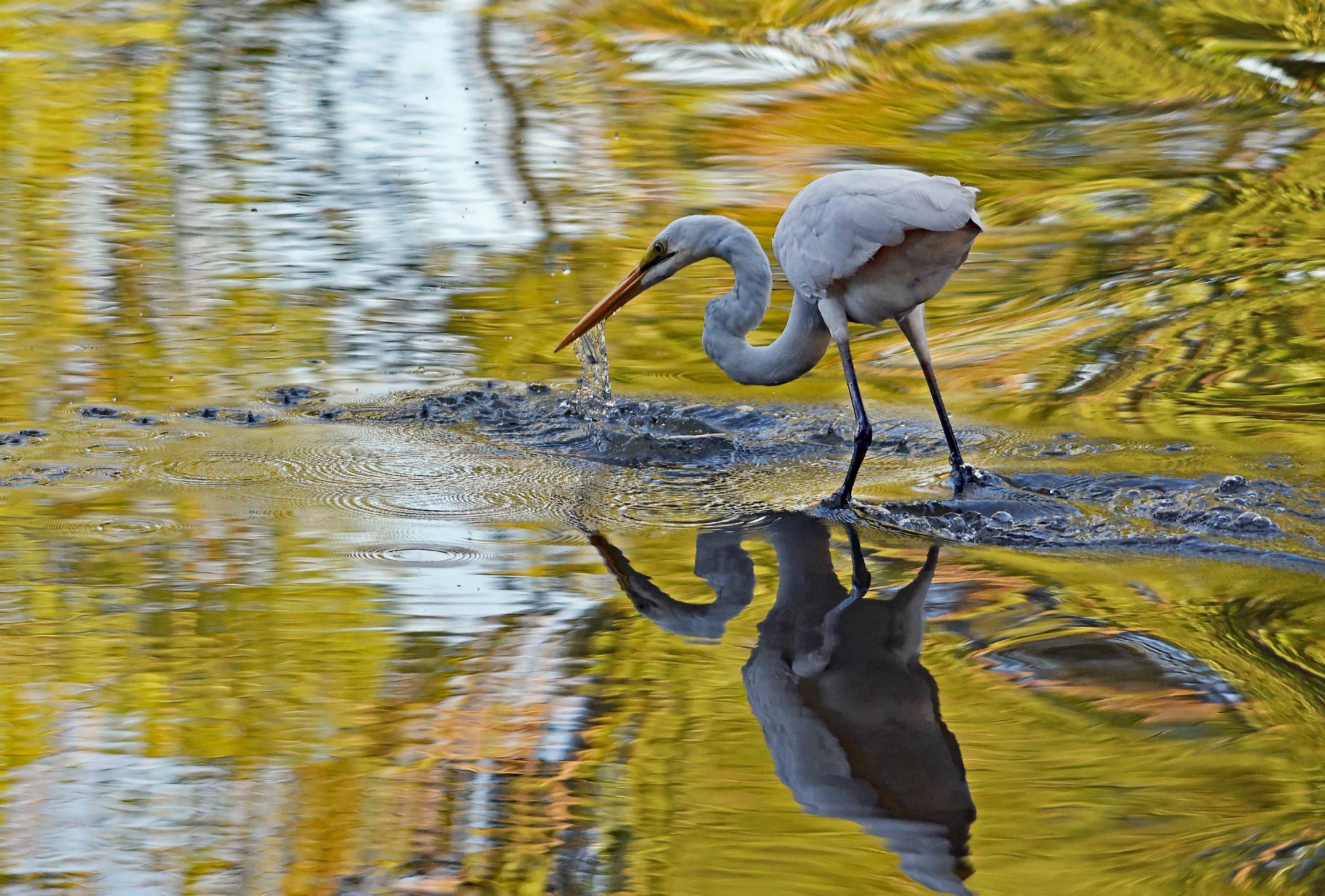 white flamingo on body of water