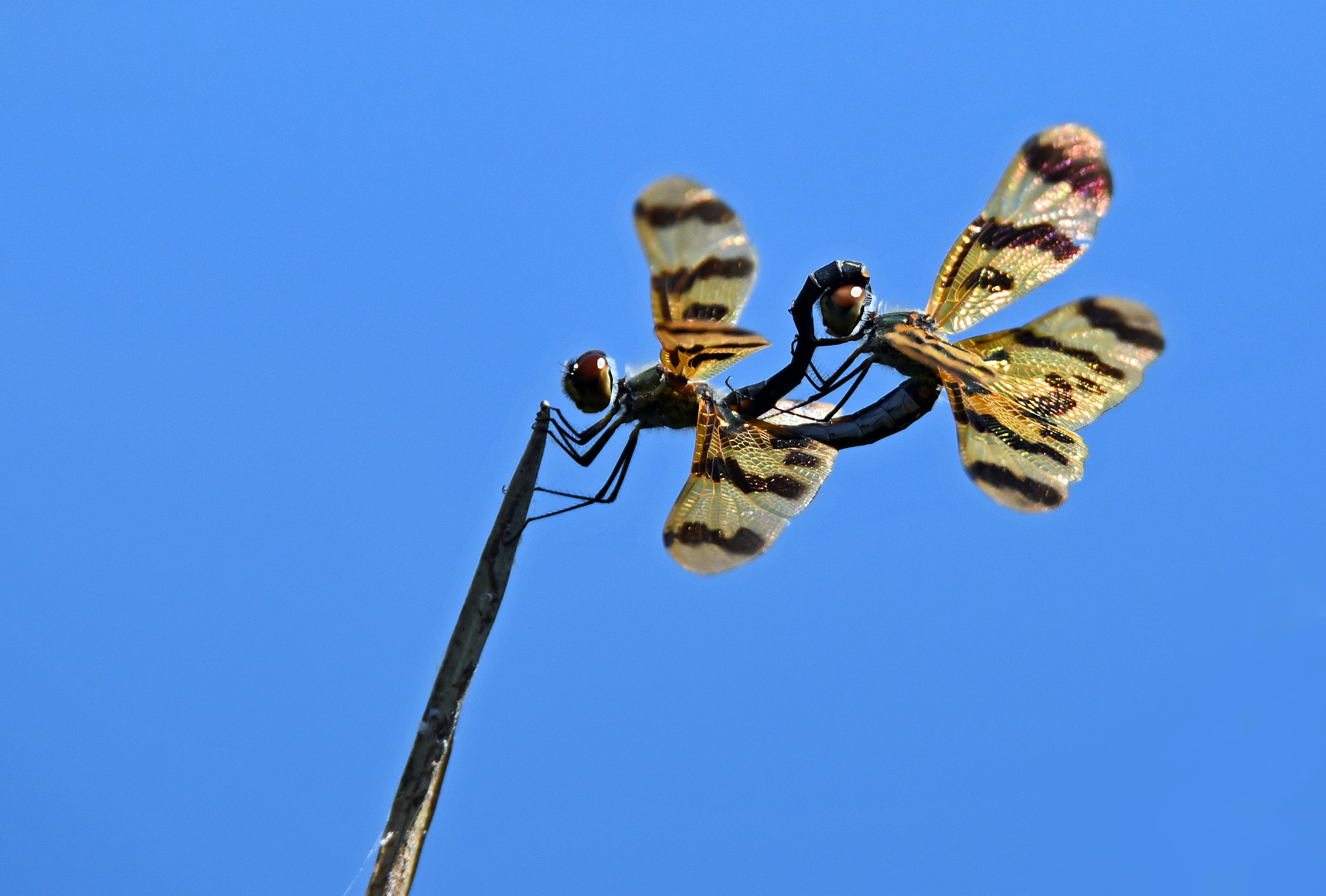 two brown dragonflies perching on branch