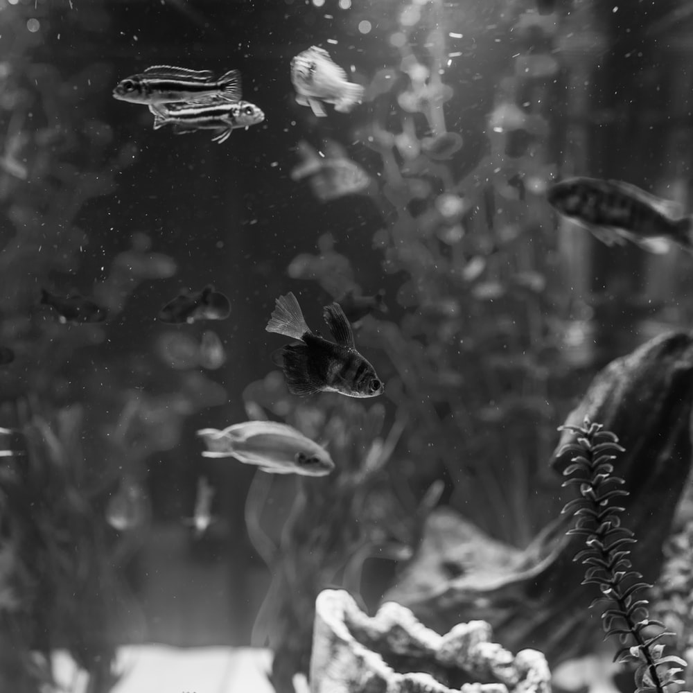 grayscale photography of fishes