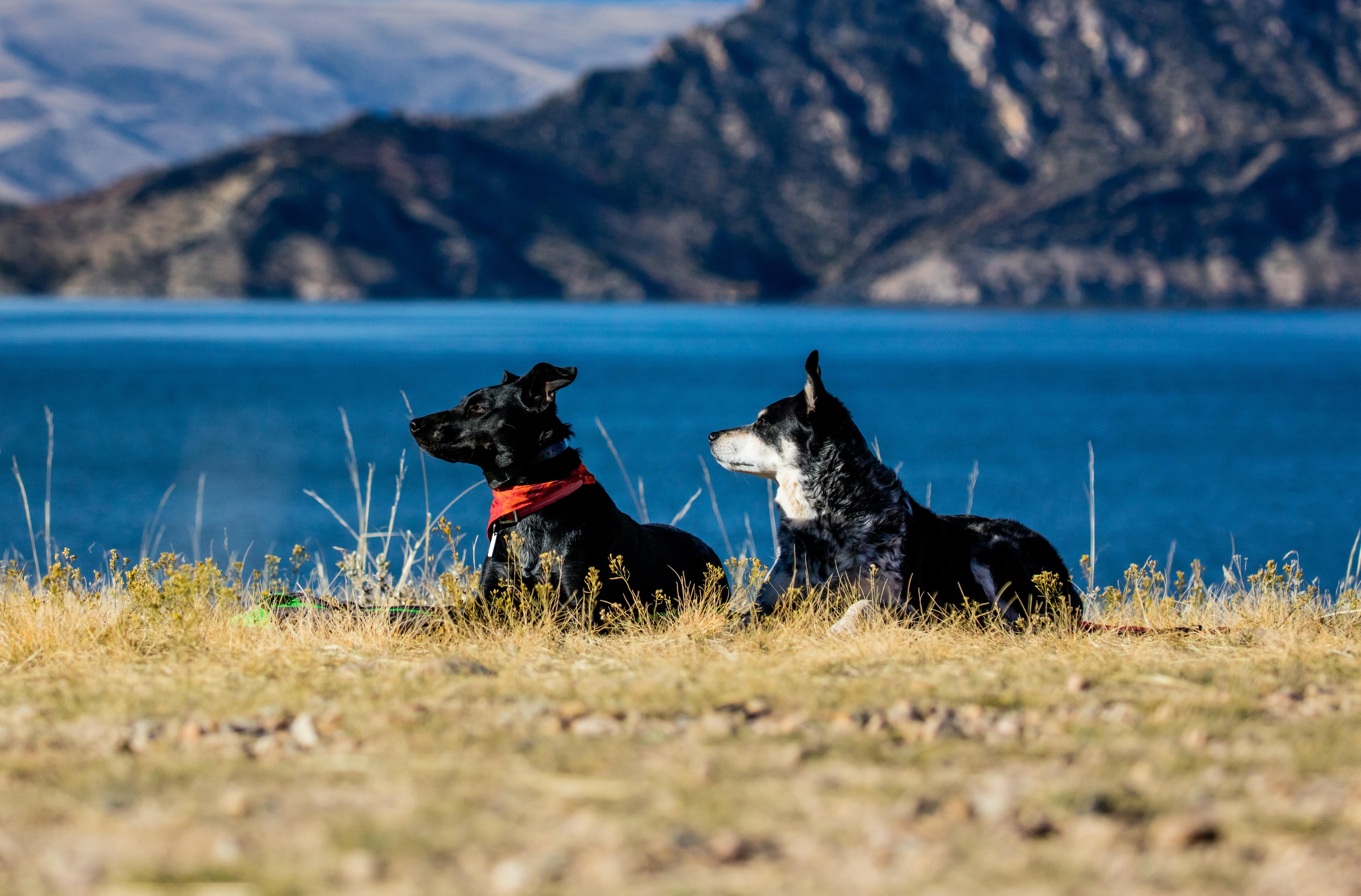 two short-coated black dogs lying near lake