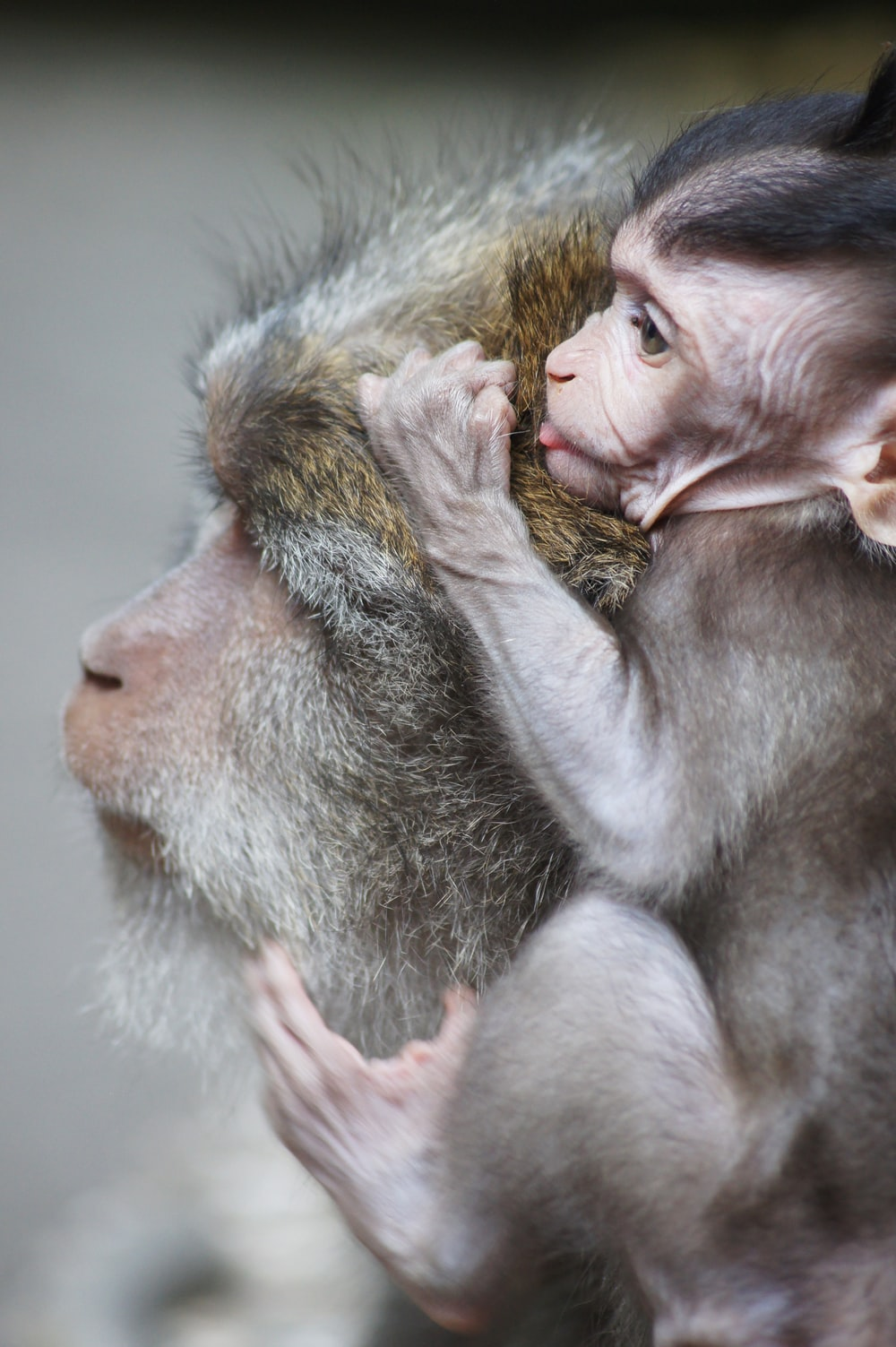 baby monkey on gray monkey