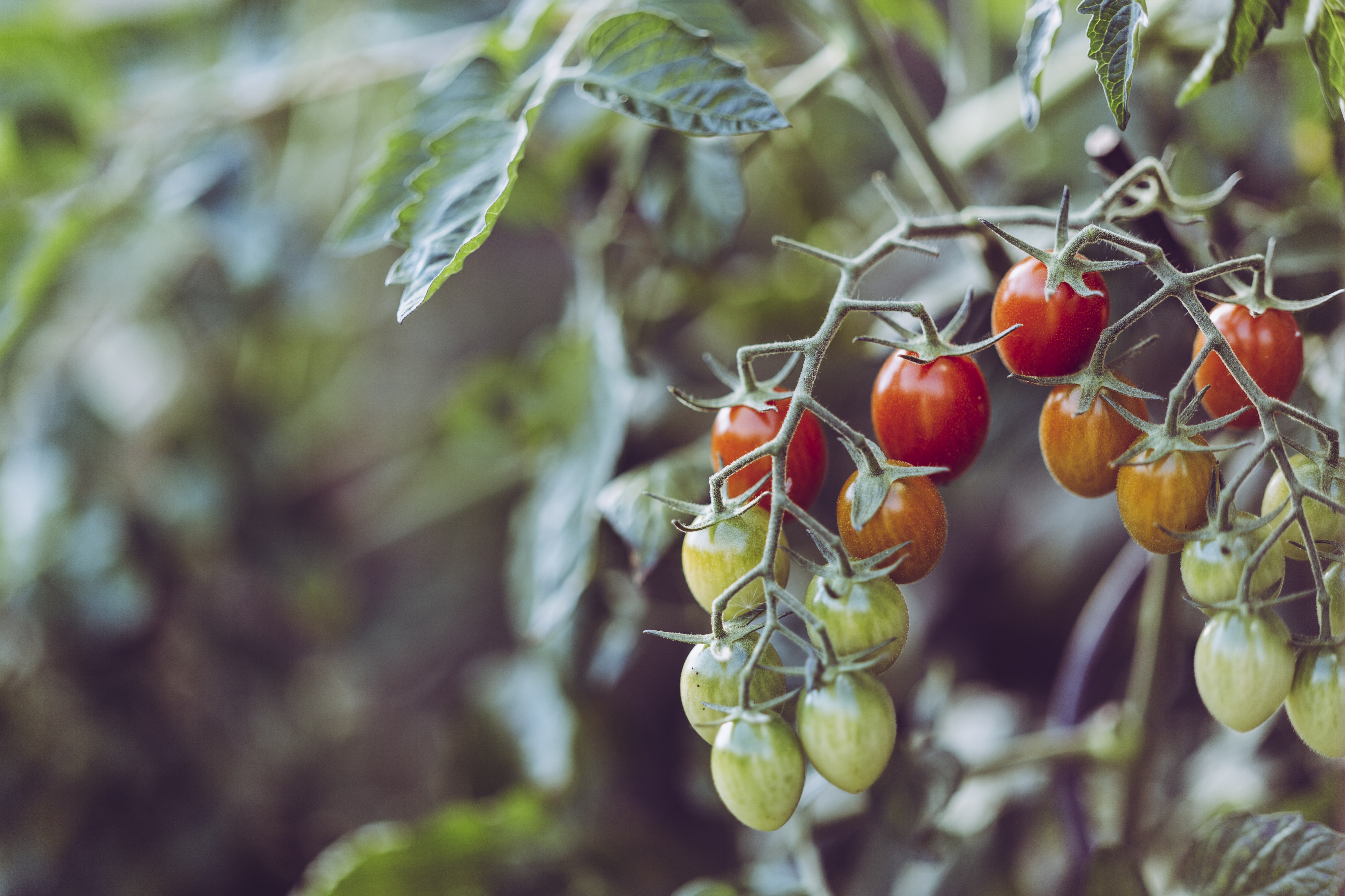 closeup photo of assorted-color tomatoes