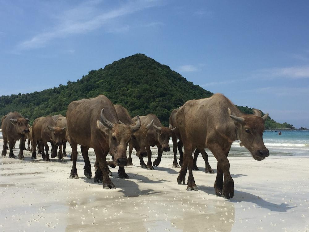 herd of black water buffalo