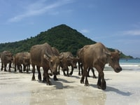 herd of black water buffalo