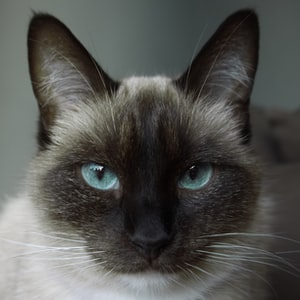 closeup photo of white and black siamese cat