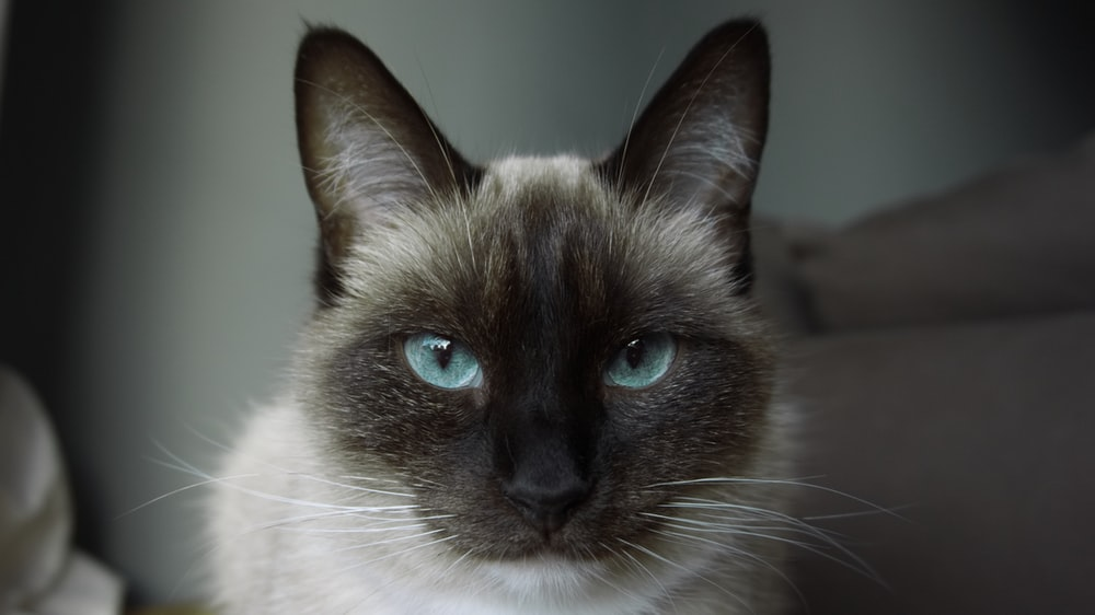 closeup photo of white and black siamese cat