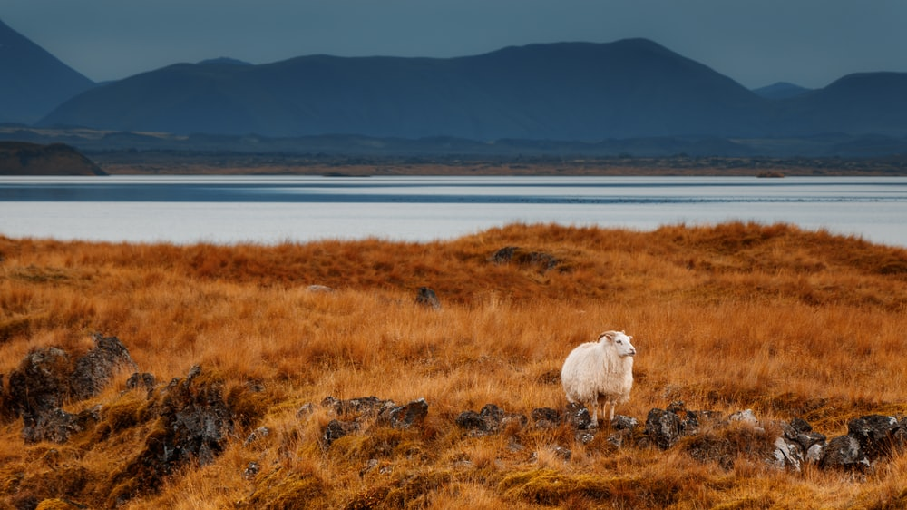 white sheep in the middle of brown meadows during day