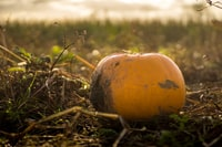 I went Pumpkin picking in a field on a sunny Autumn day.