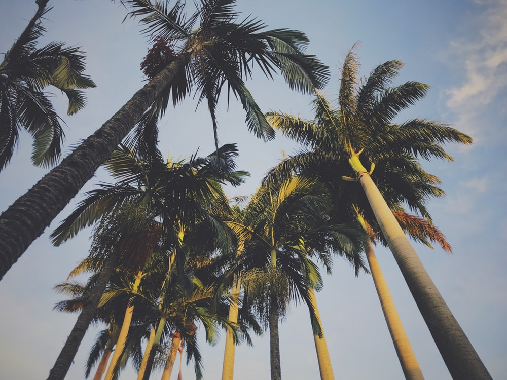 photography of green coconut trees