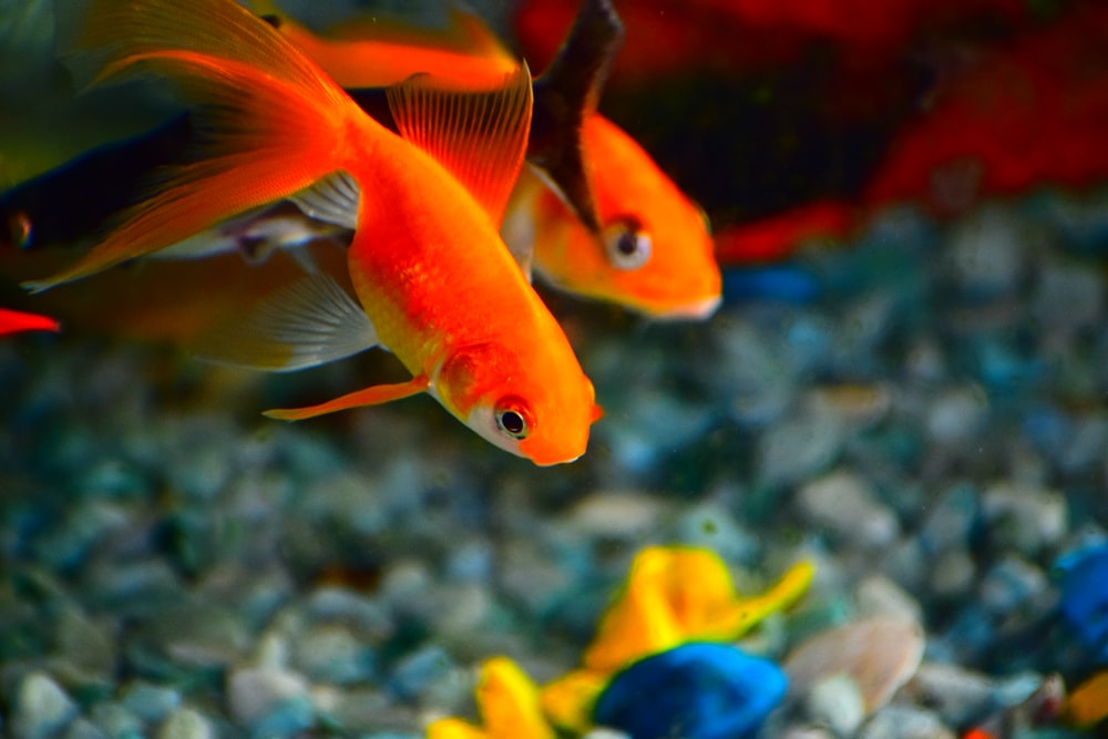 shallow focus photography of orange fishes