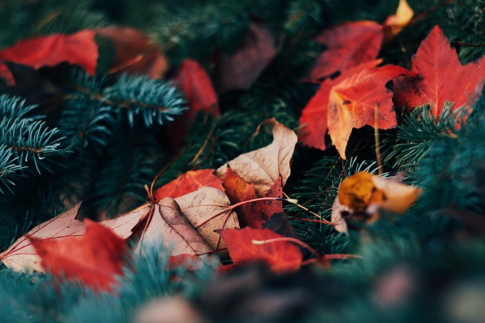 closeup photo of maple leaves