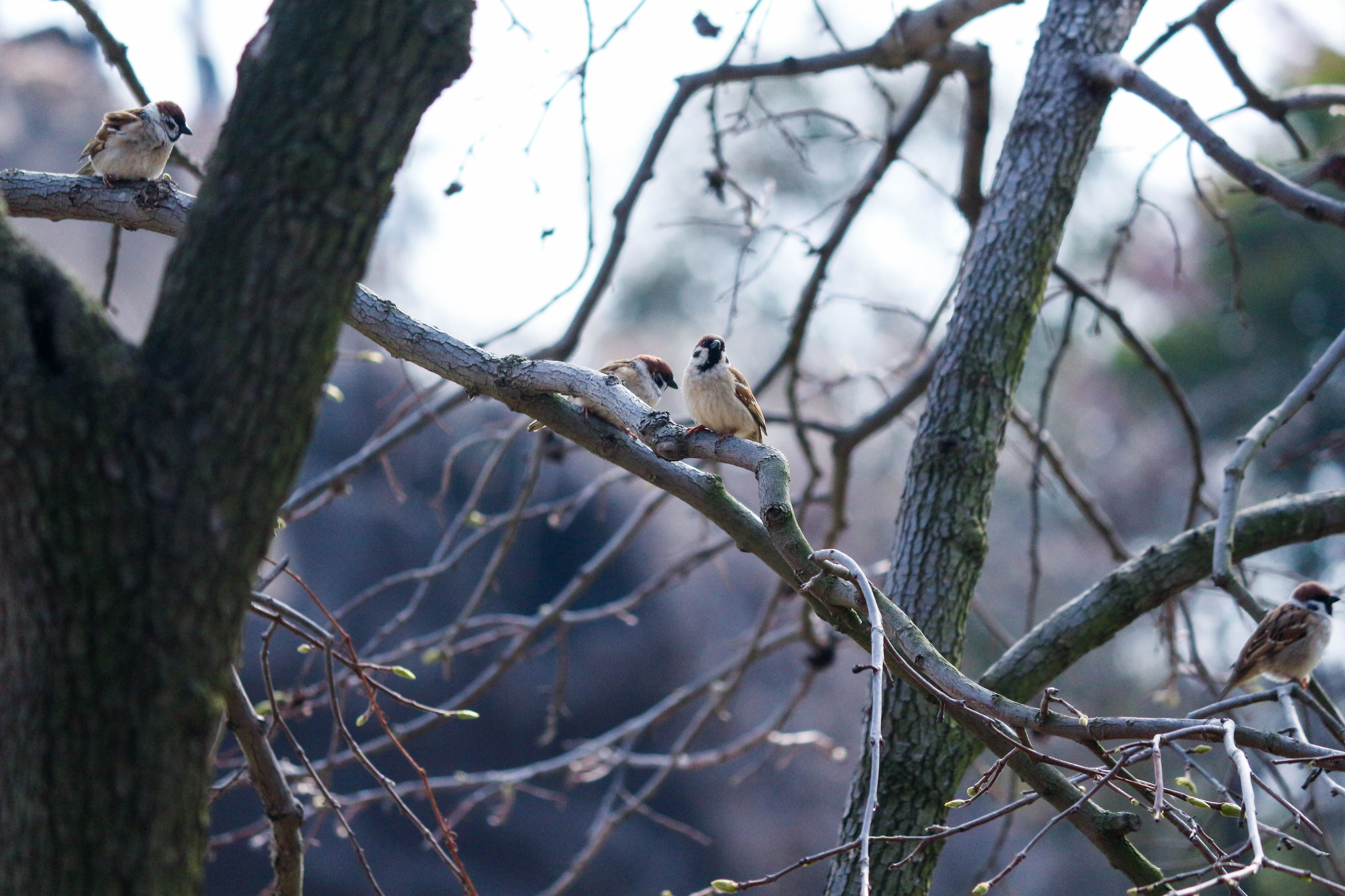 selective focus photo of two brown bird perch on gray tree branches