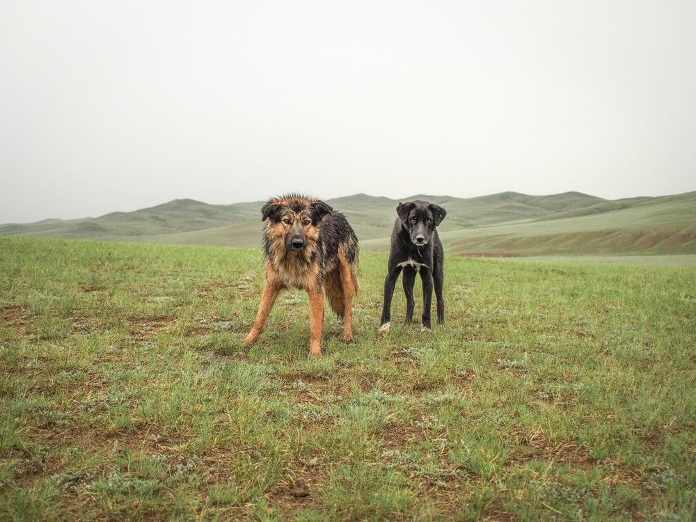 adult brown and black dogs on green grass field at daytime