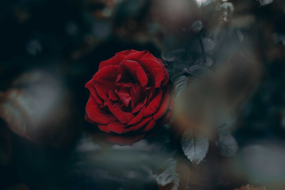 tilt-shift photography of red rose