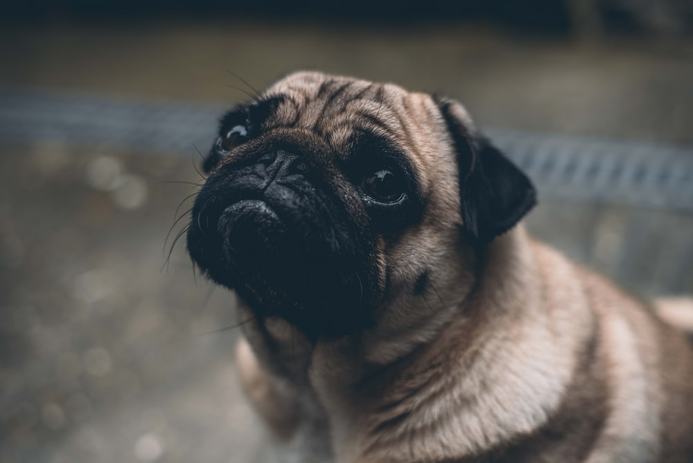 shallow focus photography of adult fawn pug