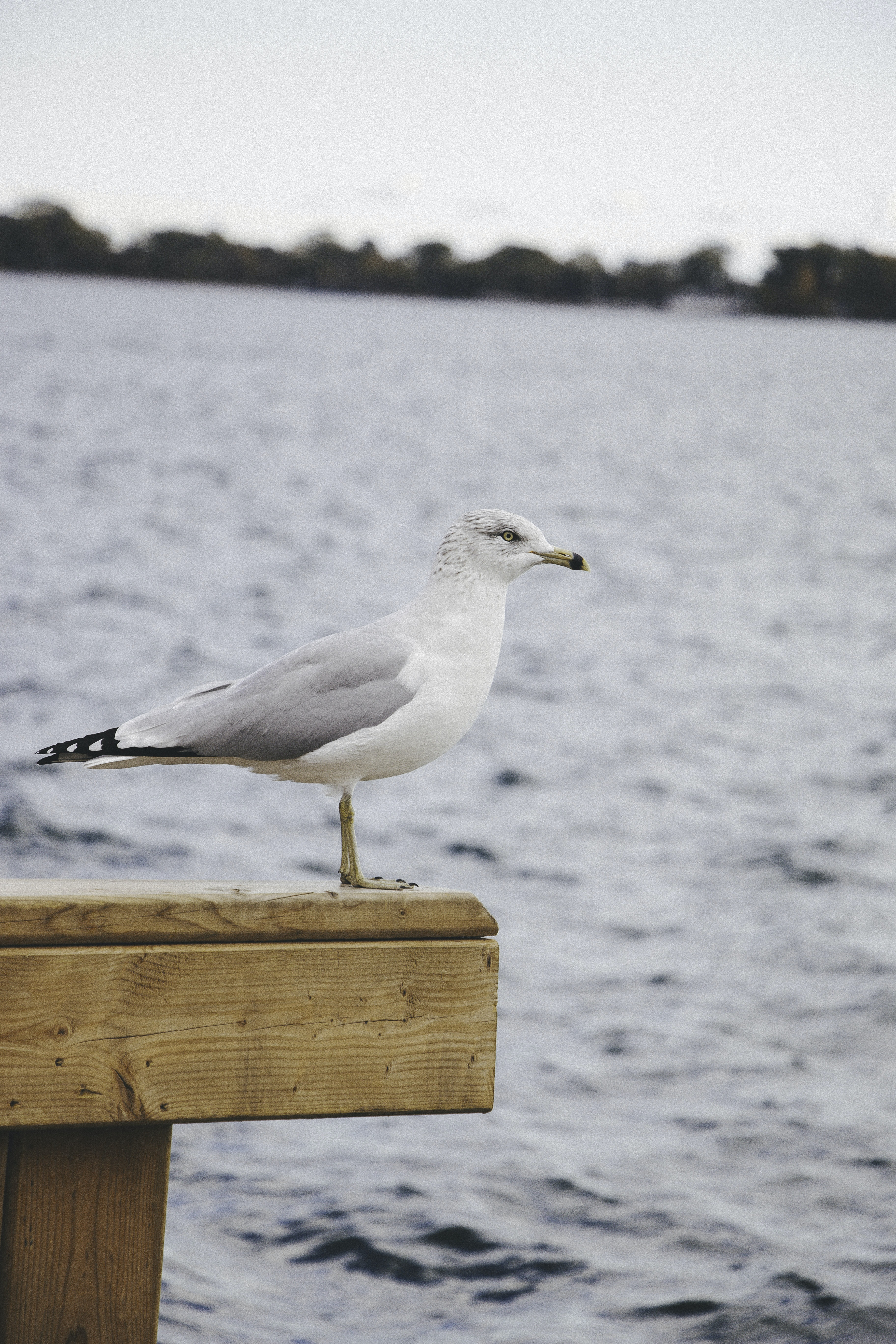 white and gray seagull standing on brown wooden plank