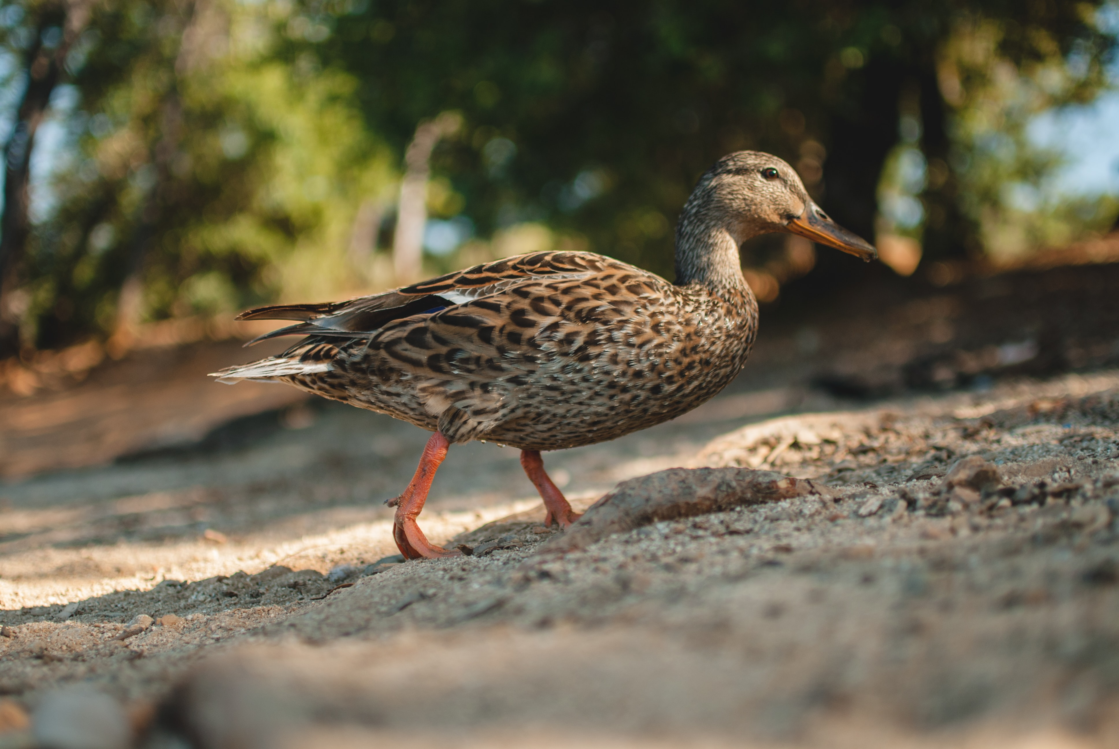 shallow focus photography brown mallard duck walking