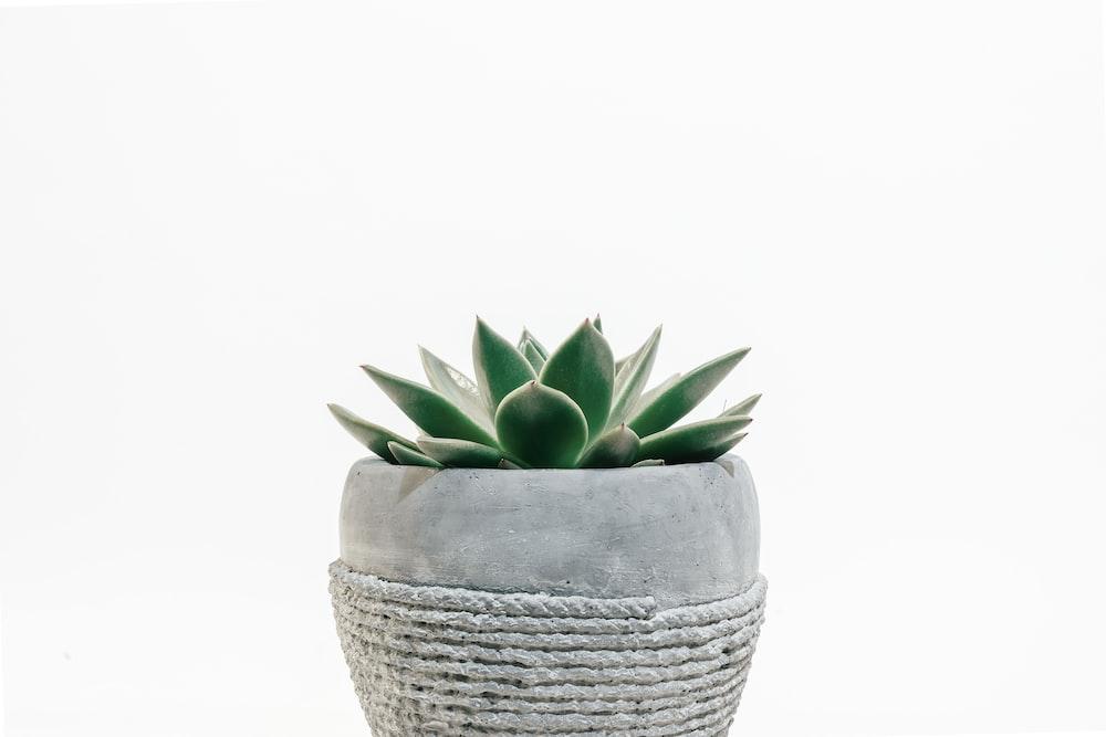 green succulent plant in gray pot