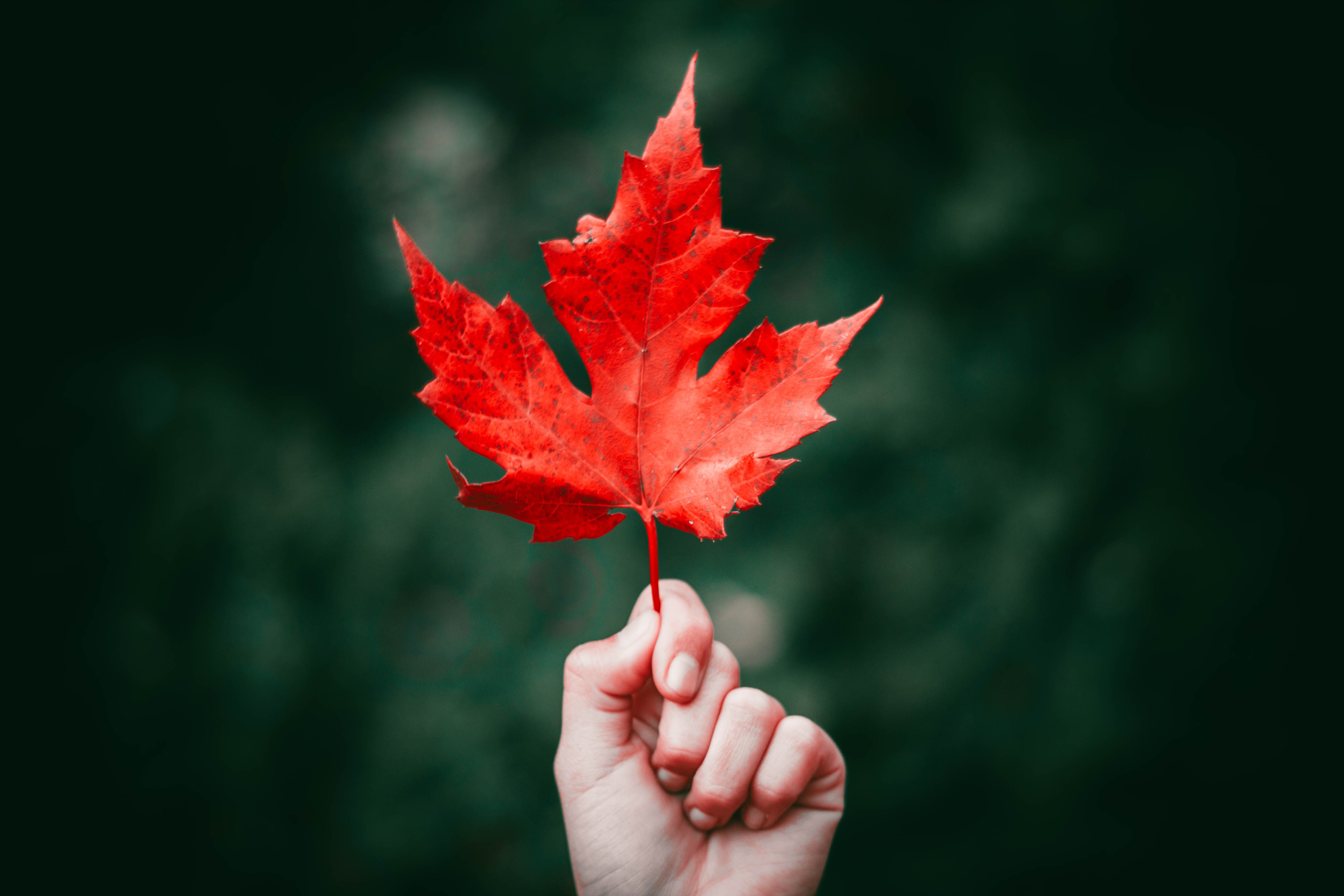 wallpaper, tumblr wallpapers, tumblr backgrounds and backgroundperson holding maple leaf