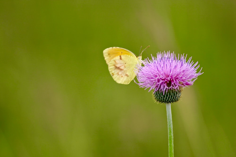 yellow butterfly perching on pink flower at daytime