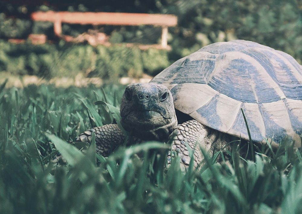 brown turtle on green grass during daytime