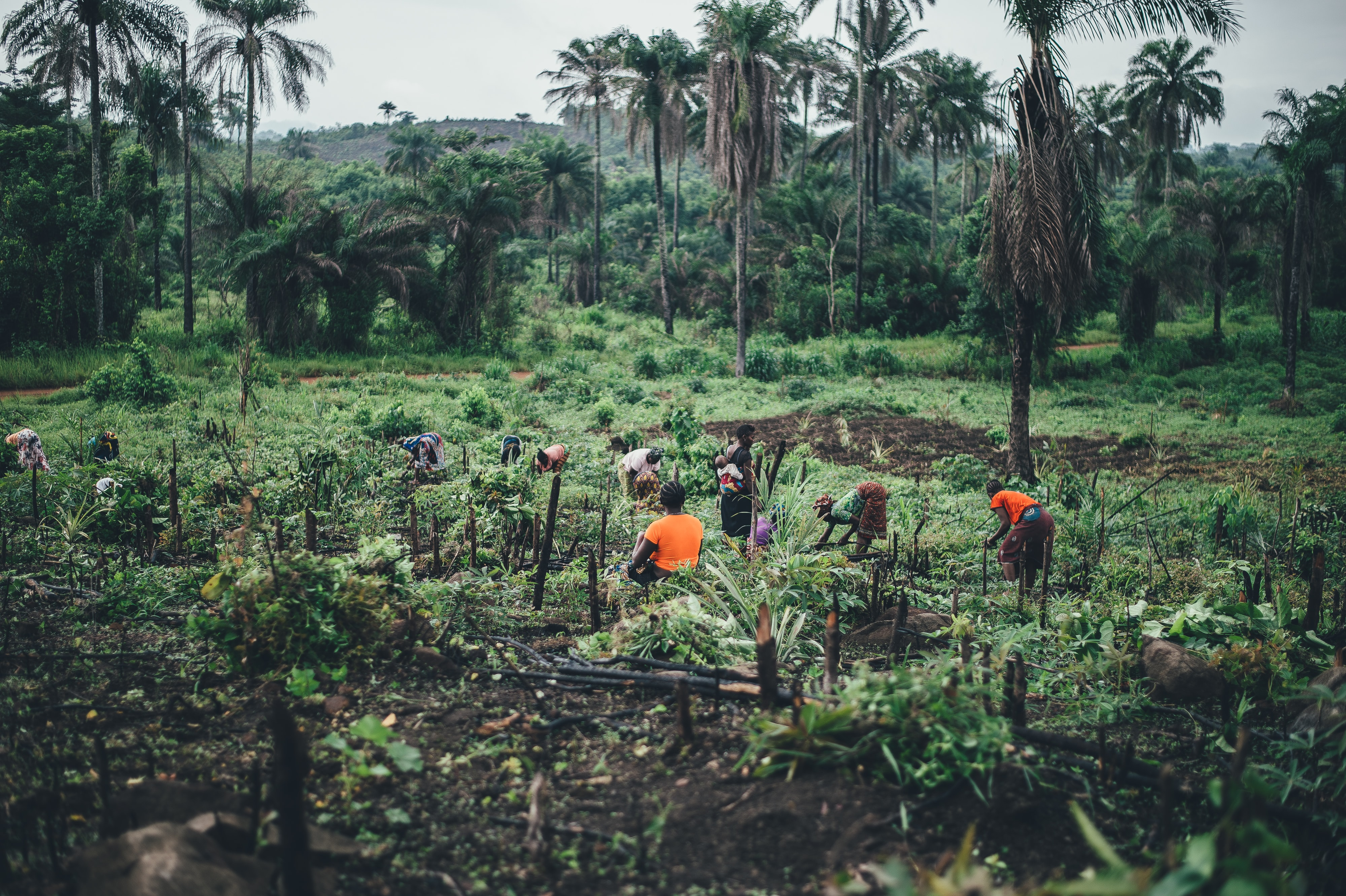 people planting near coconut trees