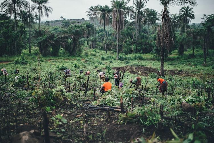Cassava farming in Sierra Leone
