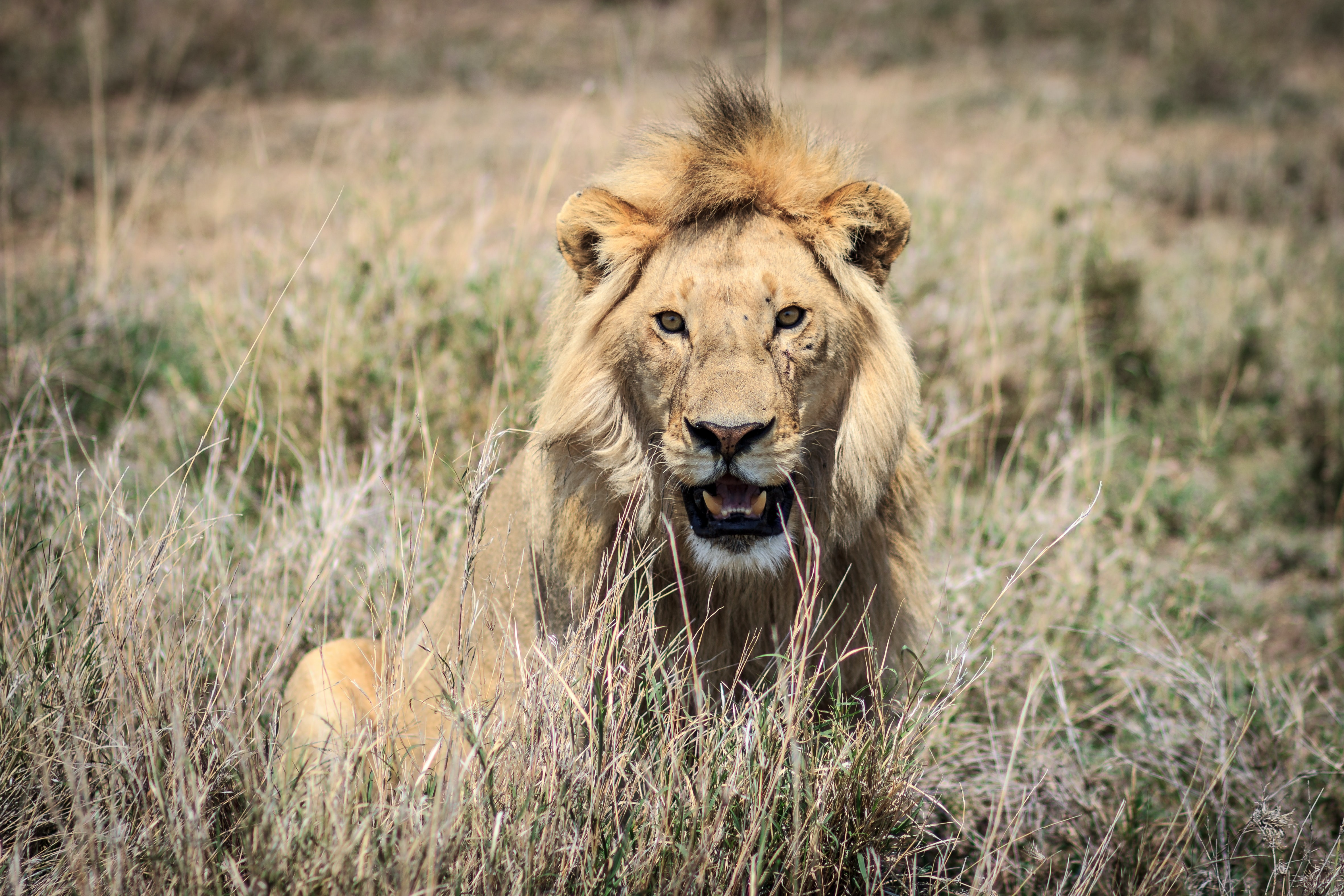 shallow focus photography of lion at wildlife