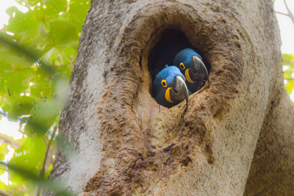 two small-beaked blue bird in tree trunk