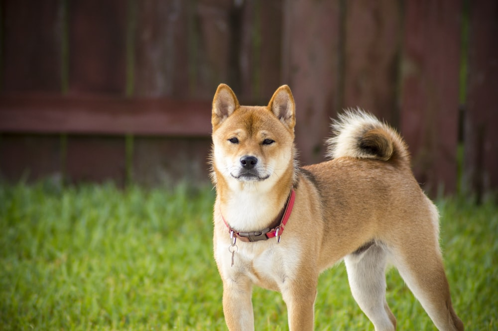Shiba Inu Pictures