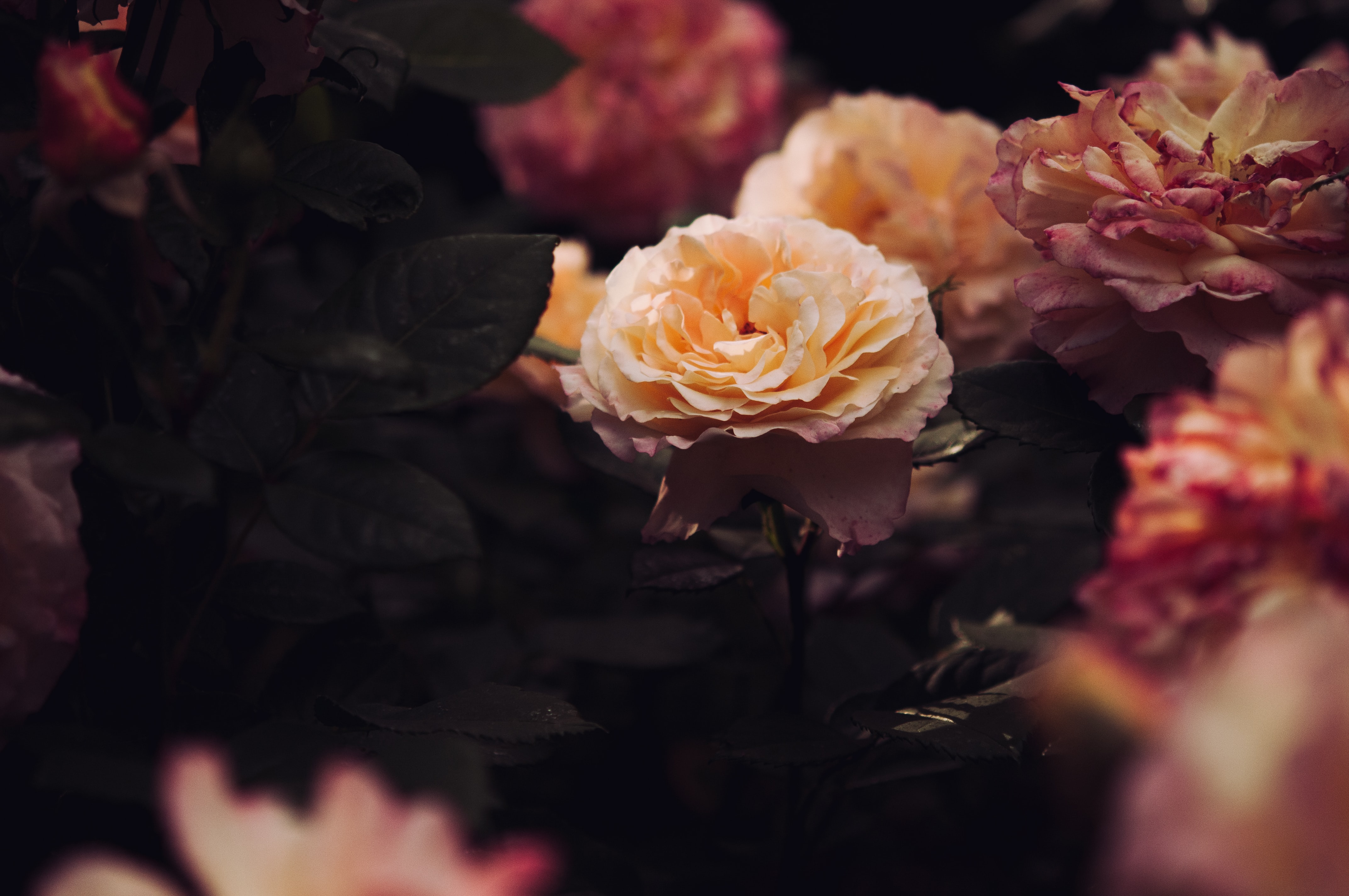 peach and pink petaled flowers