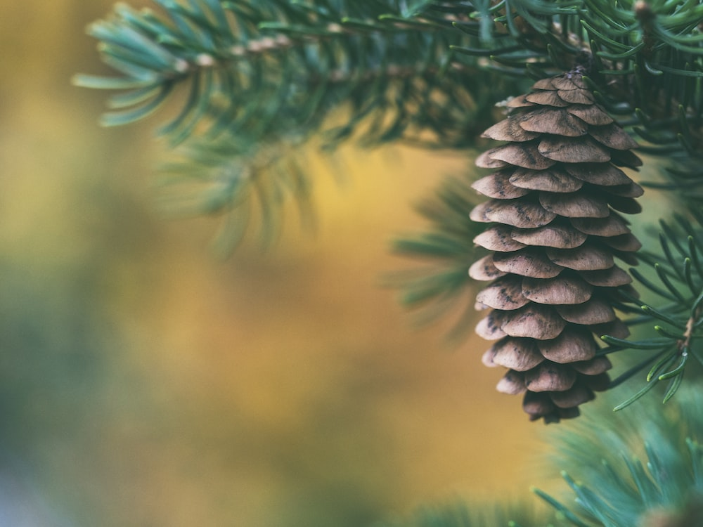 selective focus of pine cone