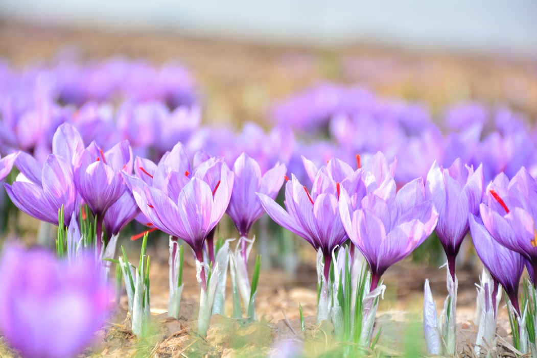Crocus | Fall Gardening With 9 Stunning Perennial Flowering Bulbs