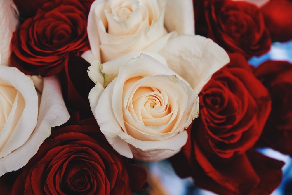 Red and white rose pictures hq download free images on unsplash shallow focus photography of red and beige roses mightylinksfo
