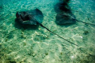 three stingrays swimming in water bora bora teams background