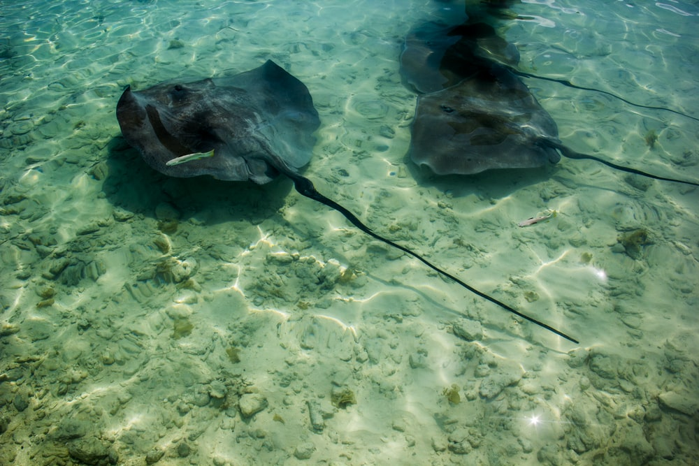 three stingrays swimming in water