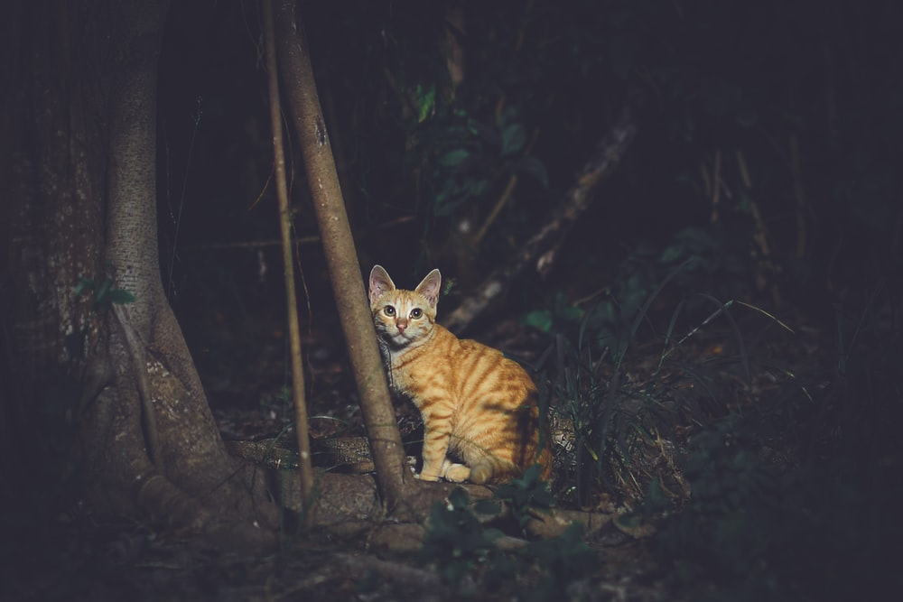 adult orange tabby cat