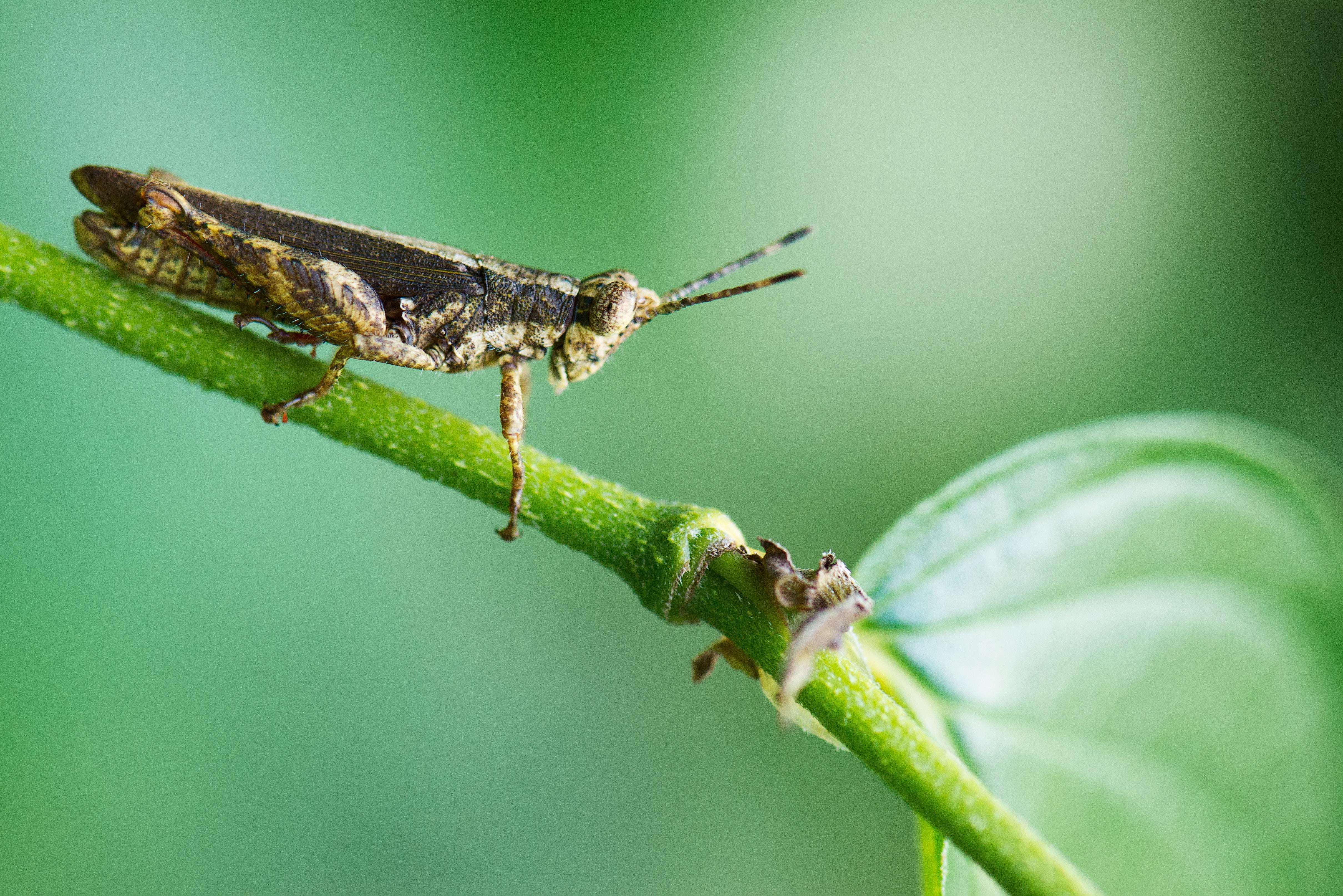 macro photography of grass hopper