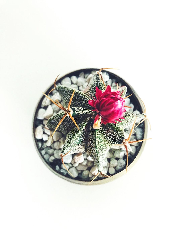 Leighton Cactus