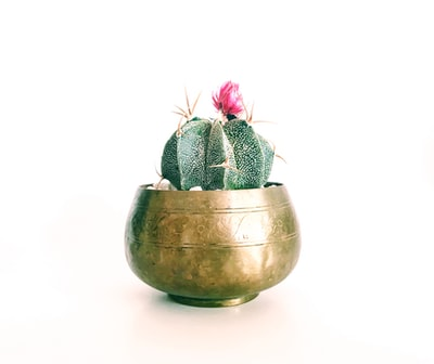 pink petaled flower cactus plant on brass-colored pot pot of gold teams background