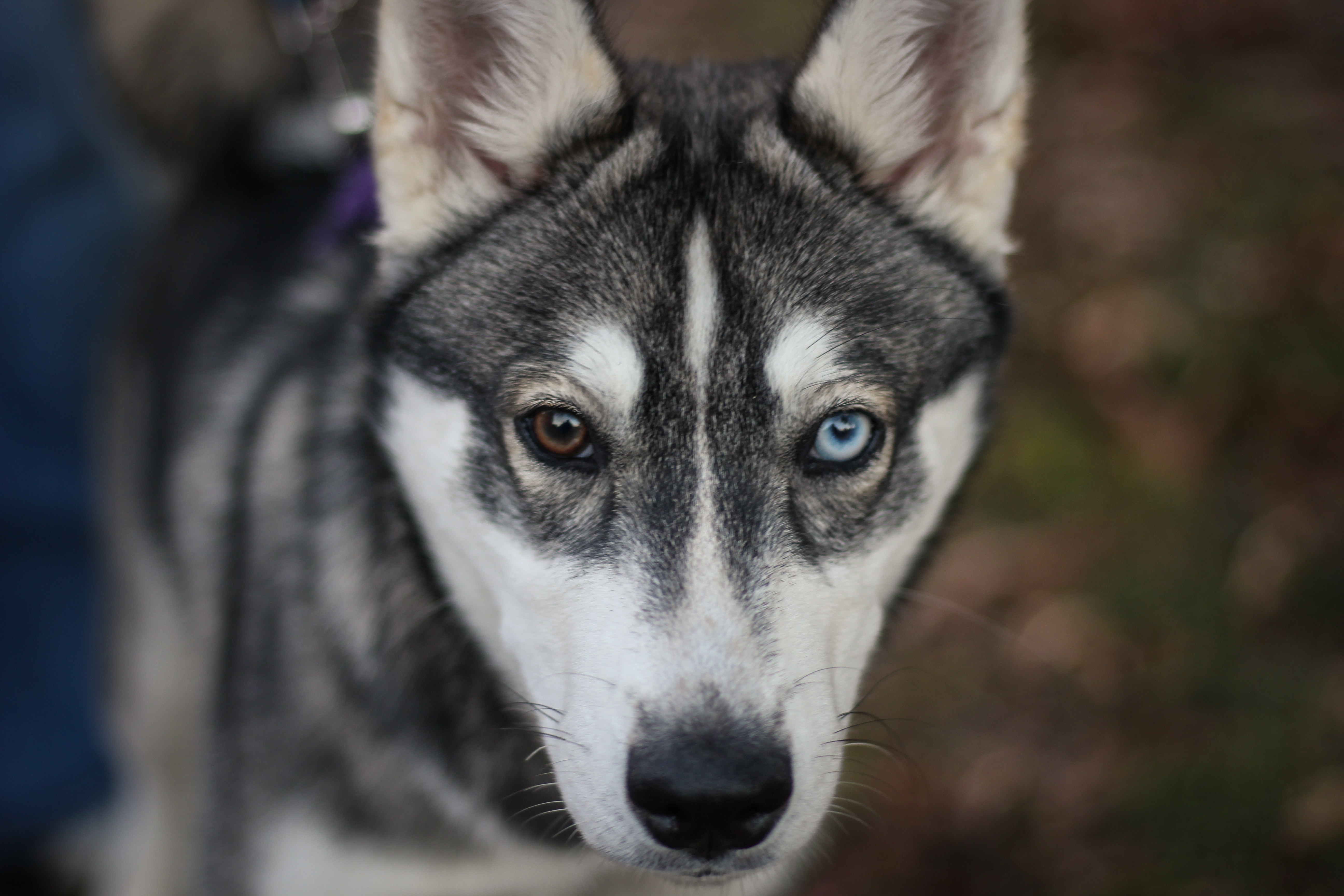 shallow focus photography of black and white dog