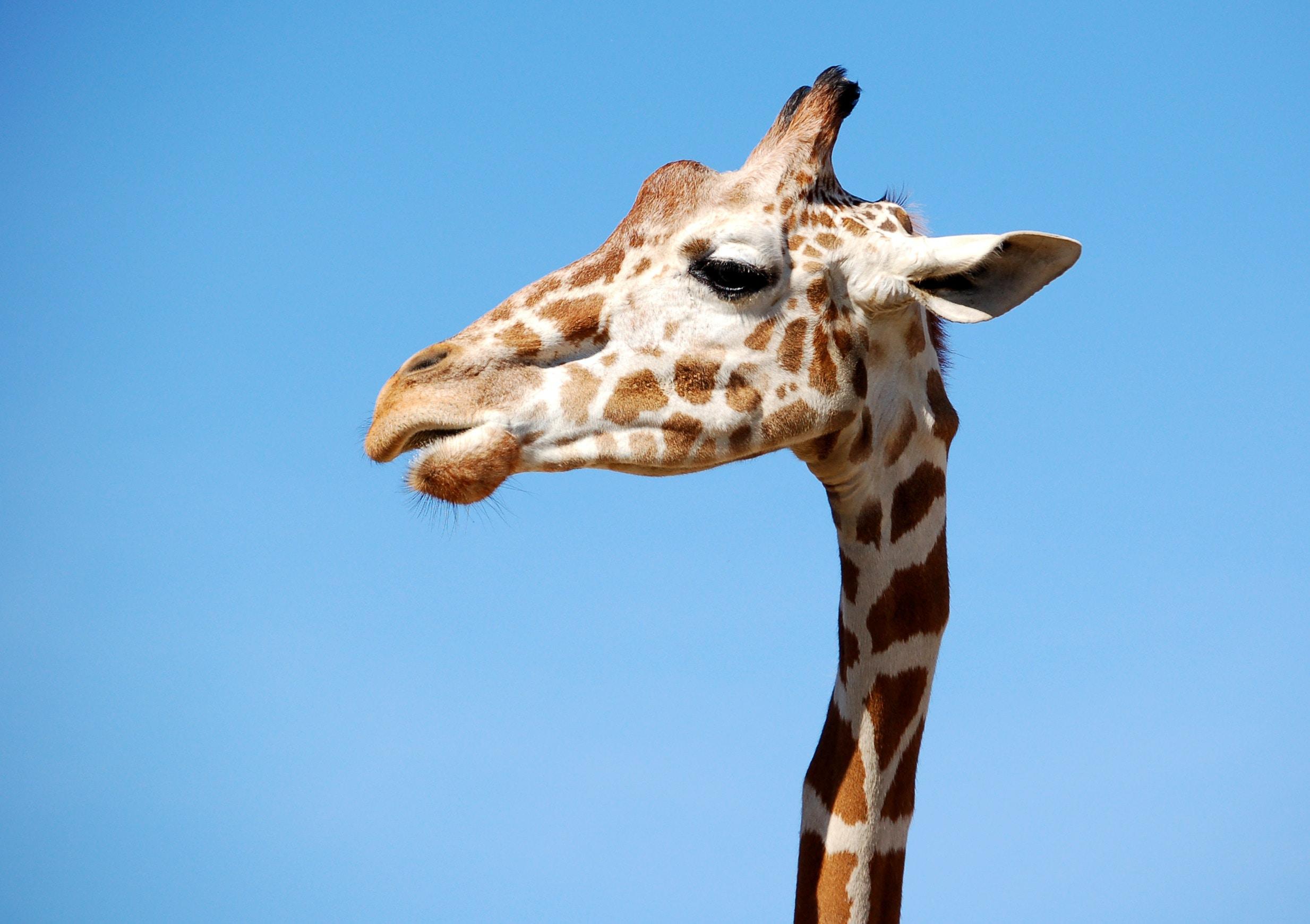 close view of giraffe's head