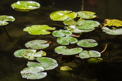 green lily pads on body of water awesome zoom background