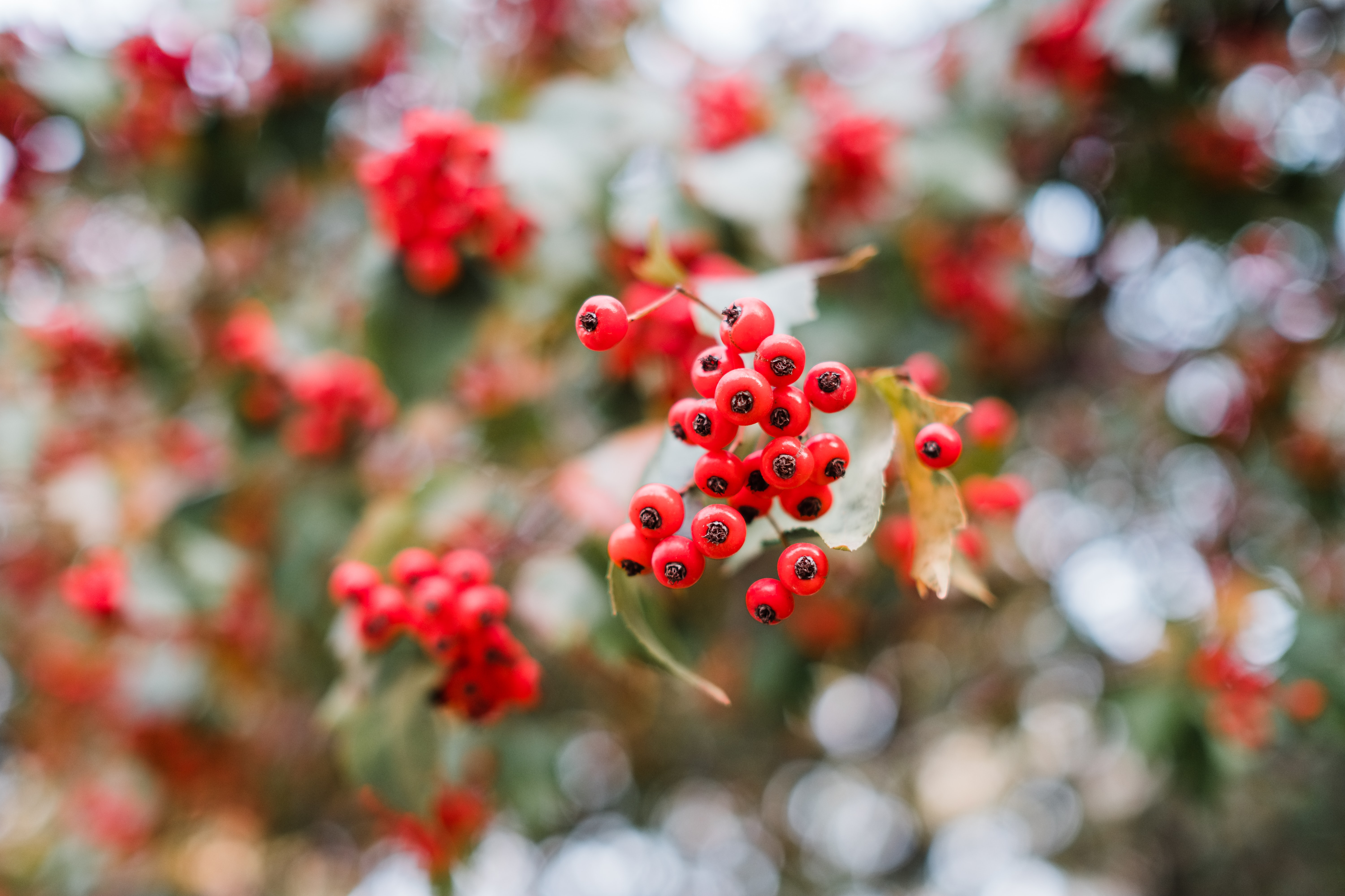 selective focus photography of round red fruits at daytime