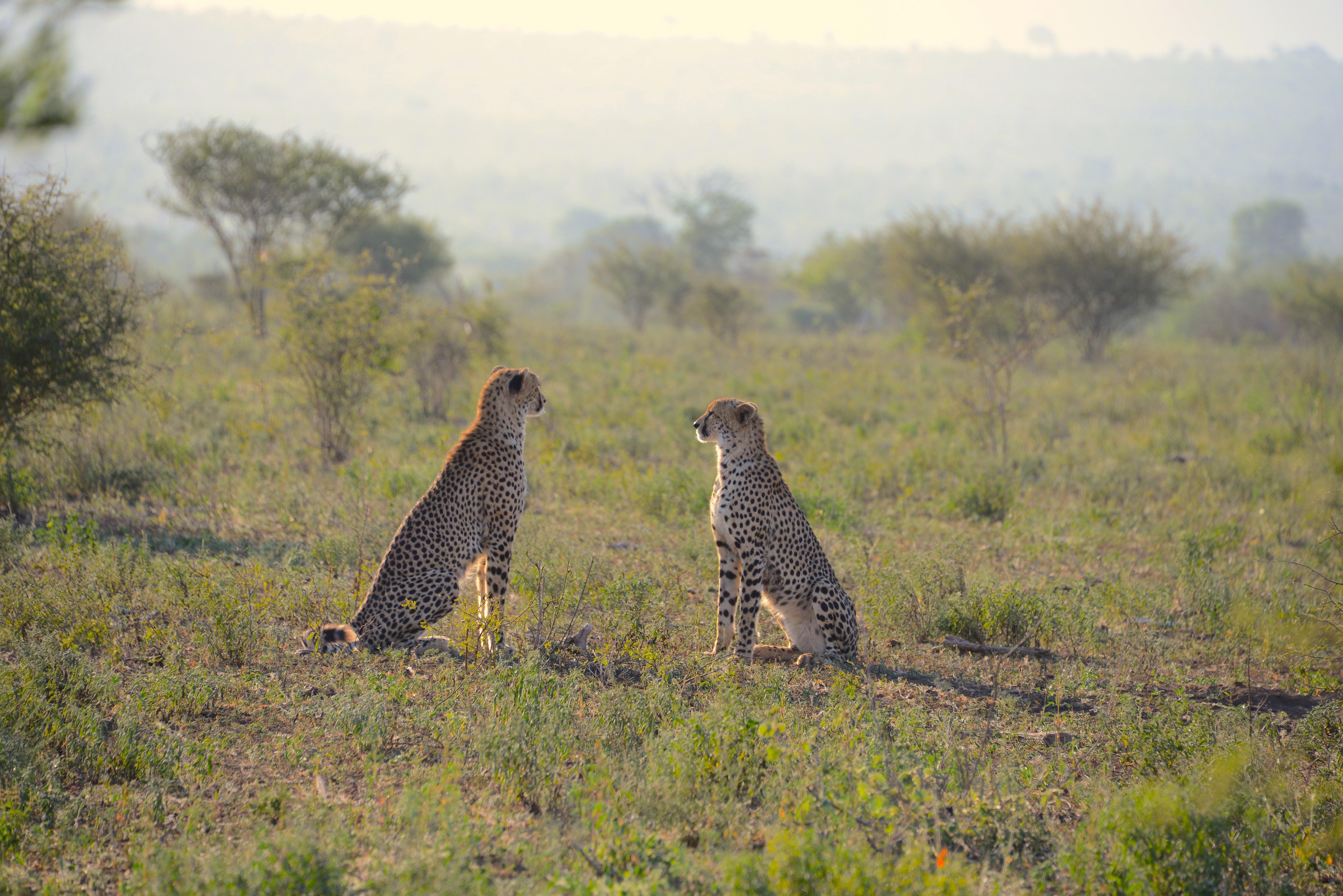 two cheetahs sitting on green grass field