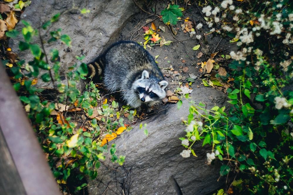 photo of wild raccoon